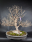 Preview: Bonsai - Stewartie, Scheinkamelie Japan
