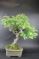 Preview: Bonsai - Ilex Serrata