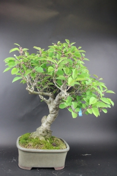 Bonsai - Ilex Serrata, Weiblich