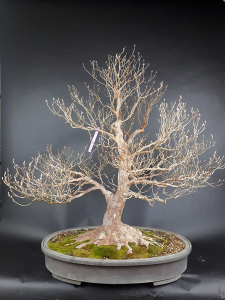 Bonsai - Stewartie, Scheinkamelie Japan