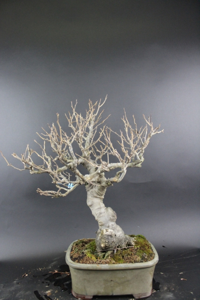 Bonsai - Ilex Serrata